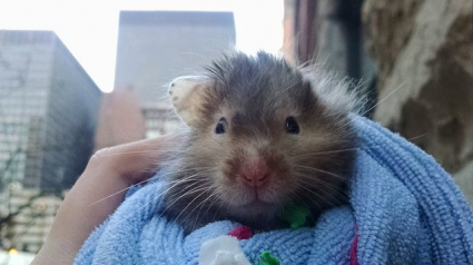 Illustration : Condamné, un hamster profite de chaque instant de la vie