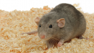 Illustration : Choisir une litière pour son rat