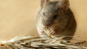 Illustration : Que mange une souris ?