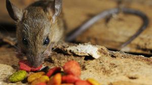 Illustration : Que mange un rat ?