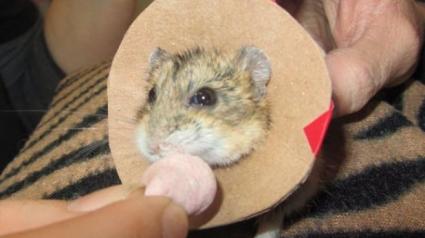 Illustration : Un Hamster nain de 50 grammes risquait d'être amputé d'une patte, il a été opéré avec succès !