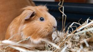 Illustration : Que mange un cochon d'Inde ?