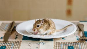 Illustration : Que mange une gerbille ?