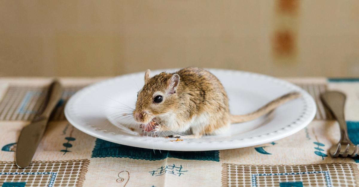 L Alimentation De La Gerbille Que Peut On Lui Donner A Manger