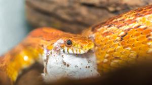 Illustration : Que mange un serpent ?