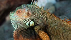Illustration : Que mange un iguane ?