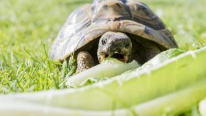 Illustration : Que mange une tortue ?