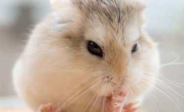 """Illustration : """"La diarrhée chez le hamster"""""""