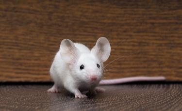 """Illustration : """"Les maladies de la peau chez la souris"""""""