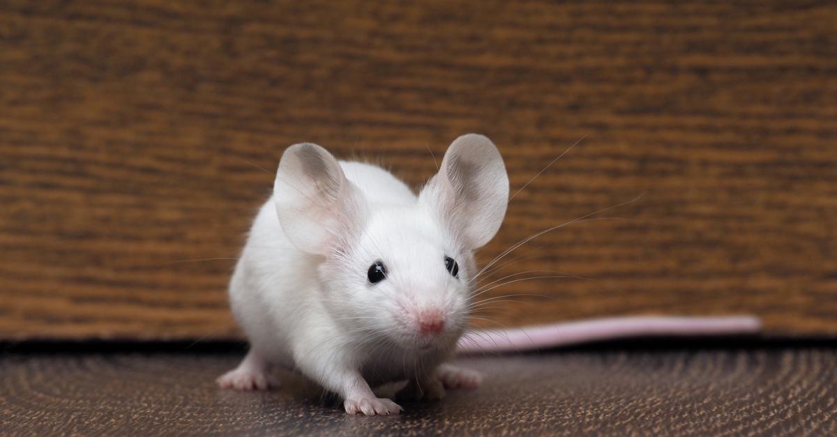 quelles sont les maladies de peau de votre souris et comment les traiter