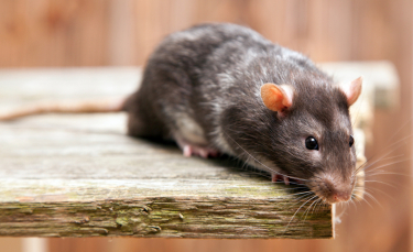 "Illustration : ""Les morsures de rat"""