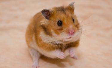 """Illustration : """"Les troubles digestifs chez le hamster"""""""