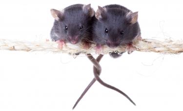 """Illustration : """"La reproduction chez la souris"""""""