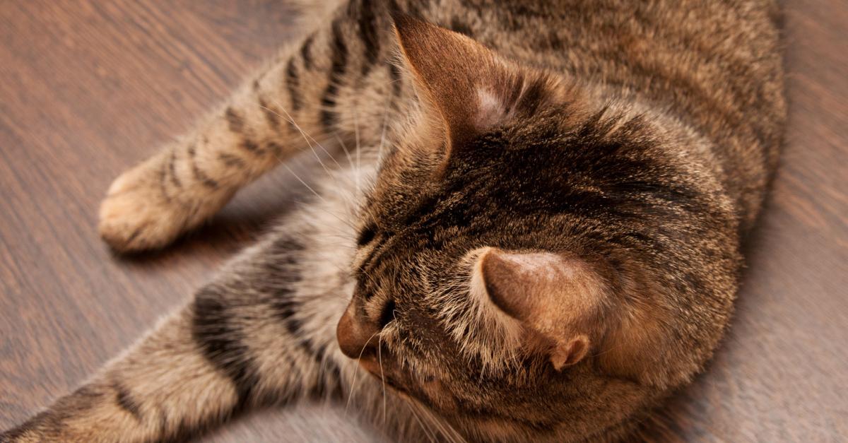 la teigne  comment la soigner et l u0026 39  u00e9radiquer chez le chat