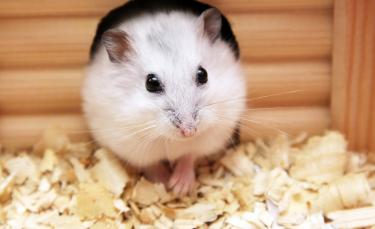 """Illustration : """"Reconnaître le sexe de son hamster"""""""