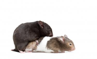 """Illustration : """"La reproduction chez le hamster"""""""