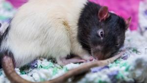 Illustration : Combien coûte un rat et où l'acheter ?