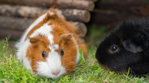 Illustration : Combien coûte un Cochon d'Inde et où l'acheter ?