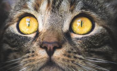 """Illustration : """"Les maladies des yeux du chat"""""""