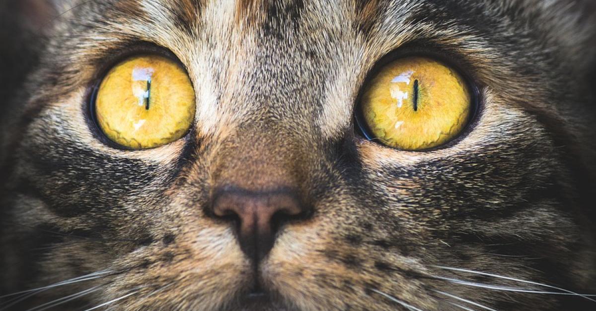 Les Différentes Maladies Des Yeux De Votre Chat Et Comment