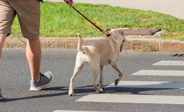"""Illustration : """"Comment apprendre à son chien à traverser la route ?"""""""