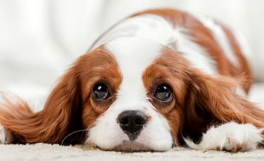 """Illustration : """"Pourquoi mon chien pleure ?"""""""