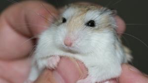 Illustration : Les soins vétérinaires chez le hamster