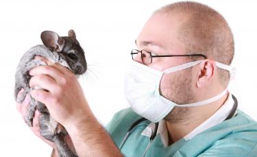 """Illustration : """"Les soins vétérinaires chez le chinchilla"""""""