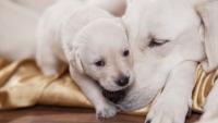 Illustration : La cohabitation entre chien adulte et chiot