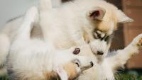 Illustration : Les conflits entre chien adulte et chiot
