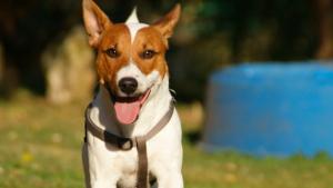 Illustration : Choisir un chien adulte
