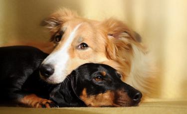 """Illustration : """"Accueillir un deuxième chien"""""""