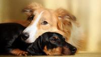 Illustration : Accueillir un deuxième chien