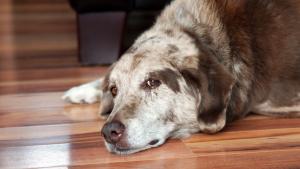 Illustration : Prendre soin d'un chien âgé