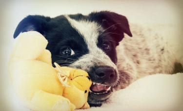 """Illustration : """"Les problèmes dentaires chez le chien"""""""