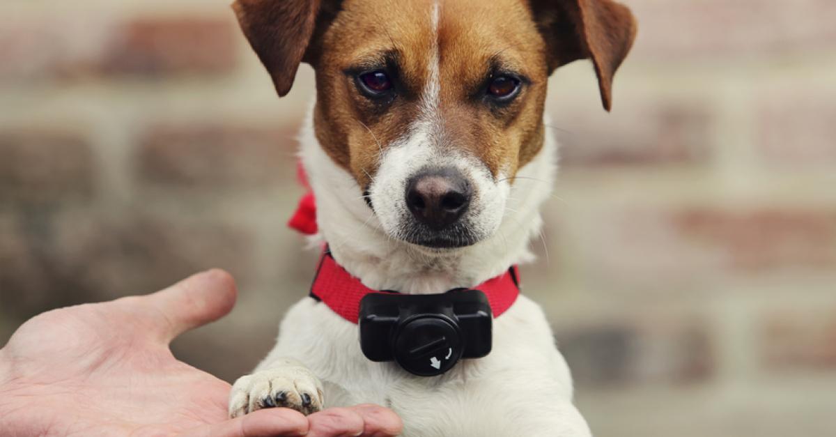 Le collier électrique pour chien : principe et risques