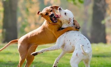 "Illustration : ""Interrompre un combat de chiens"""