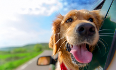 """Illustration : """"Le mal des transports chez le chien"""""""