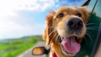 Illustration : Le mal des transports chez le chien