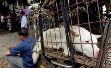 """Illustration : """"En Chine, des activistes se mobilisent contre le festival de la viande de chien"""""""