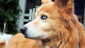 Illustration : 9 croisements étonnants de races de chiens, mais dont les résultats sont fantastiques