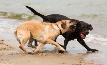 """Illustration : """"Les conflits entre chien mâle et femelle"""""""