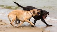 Illustration : Les conflits entre chien mâle et femelle