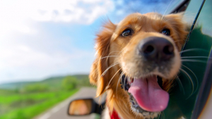 Illustration : Les réactions du chien face au chaud