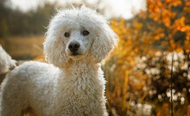 """Illustration : """"10 races de chiens hypoallergéniques"""""""