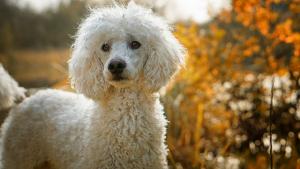 Illustration : 10 races de chiens hypoallergéniques
