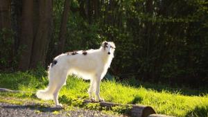 Illustration : Les 10 des races de chiens les plus rapides