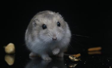 """Illustration : """"Les problèmes bucco-dentaires chez le hamster"""""""
