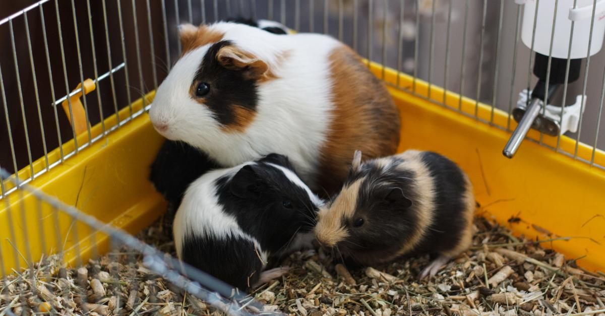 quelle cage de transport choisir pour votre cochon d 39 inde. Black Bedroom Furniture Sets. Home Design Ideas