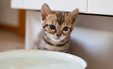"""Illustration : """"Les besoins en eau du chat"""""""